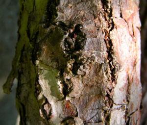 Kiwi Frucht braeunlich Blatt gruen Actinidia chinensis 06