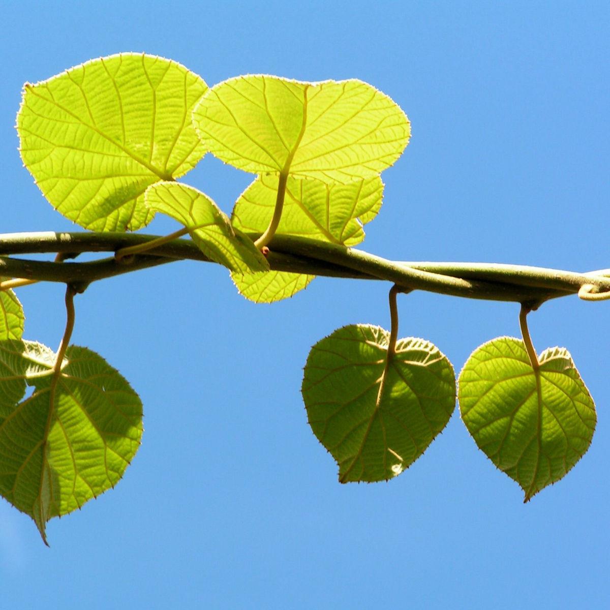 Kiwi Frucht braeunlich Blatt gruen Actinidia chinensis