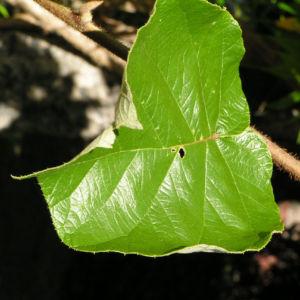 Kiwi Frucht braeunlich Blatt gruen Actinidia chinensis 11