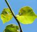Zurück zum kompletten Bilderset Kiwi Chinesischer Strahlengriffel Frucht bräunlich Blatt grün Actinidia chinensis