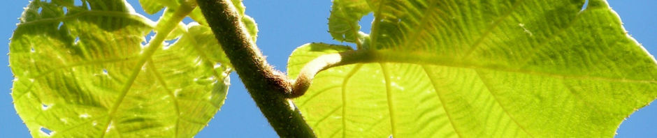 kiwi-chinesischer-strahlengriffel-frucht-braeunlich-blatt-gruen-actinidia-chinensis