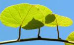 Kiwi Frucht braeunlich Blatt gruen Actinidia chinensis 14