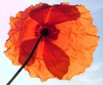Bild:  Klatschmohn Blüte rot Papaver rhoeas