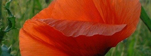 Anklicken um das ganze Bild zu sehen Klatschmohn Blüte rot Papaver rhoeas