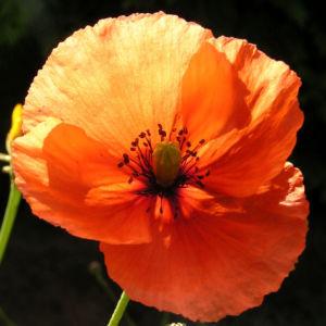Klatschmohn Blume Bluete rot Papaver rhoeas 01