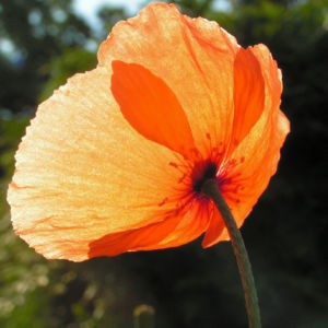 Klatschmohn Blume Bluete rot Papaver rhoeas 04
