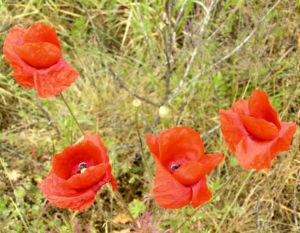 Klatschmohn Blume Bluete rot Papaver rhoeas 08