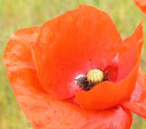 Klatschmohn Blume Bluete rot Papaver rhoeas 12