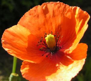 Klatschmohn Blume Bluete rot Papaver rhoeas 16