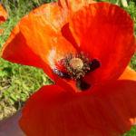 Klatschmohn rote Bluete Papaver rhoeas 07