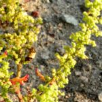 Klebriger Gaensefuss Chenopodium botrys 03