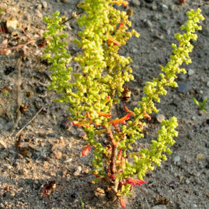 Klebriger Gaensefuss Chenopodium botrys 04