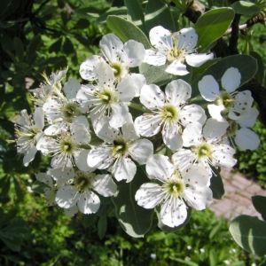 Kleinasiatische Birne Baum Bluete weiss Pyrus eleagnifolia 01