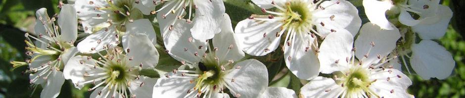 kleinasiatische-birne-baum-bluete-weiss-pyrus-eleagnifolia
