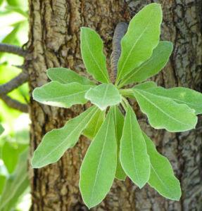 Kleinasiatische Birne Baum Bluete weiss Pyrus eleagnifolia 03