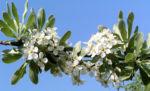 Kleinasiatische Birne Baum Bluete weiss Pyrus eleagnifolia 04
