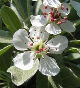Kleinasiatische Birne Baum Bluete weiss Pyrus eleagnifolia 05