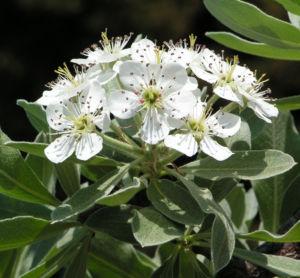 Kleinasiatische Birne Baum Bluete weiss Pyrus eleagnifolia 06