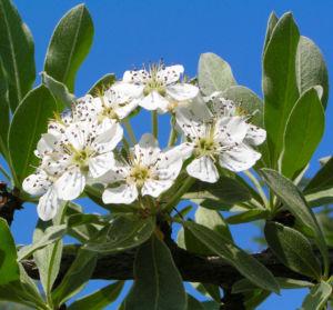 Kleinasiatische Birne Baum Bluete weiss Pyrus eleagnifolia 07