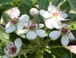 Bild:  Kleinasiatische Birne Baum Blüte weiß Pyrus eleagnifolia