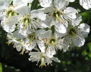 Kleinasiatische Birne Baum Bluete weiss Pyrus eleagnifolia 10
