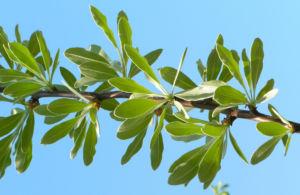 Kleinasiatische Birne Baum Bluete weiss Pyrus eleagnifolia 11