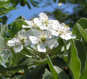 Kleinasiatische Birne Baum Bluete weiss Pyrus eleagnifolia 12
