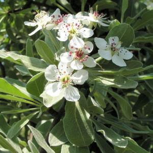Kleinasiatische Birne Baum Bluete weiss Pyrus eleagnifolia 13