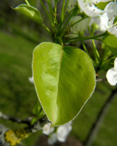 Kleinbluetige Birne Blatt gruen Pyrus calleryana 01