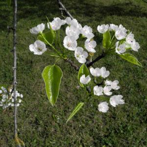 Kleinbluetige Birne Bluete weiß Pyrus calleryana 05