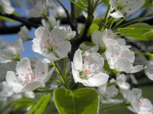 Kleinbluetige Birne Bluete weiß Pyrus calleryana 11