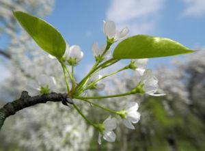 Kleinbluetige Birne Bluete weiß Pyrus calleryana 29