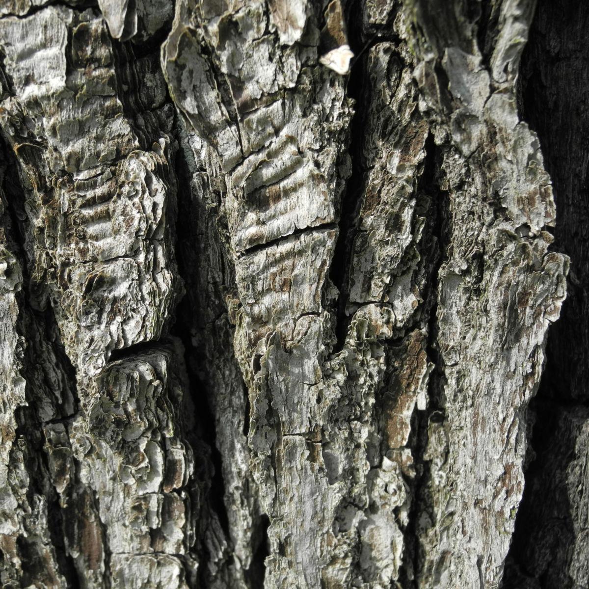 Kleinbluetige Birne Rinde grau Pyrus calleryana