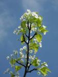 Bild: Kleinblütige Birne Blüte weiß Pyrus calleryana