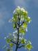 Zurück zum kompletten Bilderset Kleinblütige Birne Blüte weiß Pyrus calleryana
