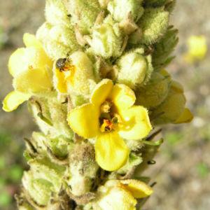 Bild: Kleinbluetige Koenigskerze Bluete gelb Verbascum thapsus