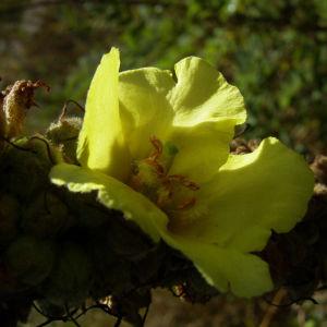 Kleinbluetige Koenigskerze Bluete Verbascum thapsus 02