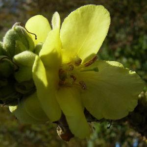 Kleinbluetige Koenigskerze Bluete Verbascum thapsus 03