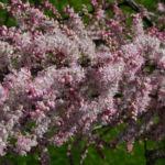 Kleinbluetige Tamariske Strauch Bluete pink Tamarix parviflora 02