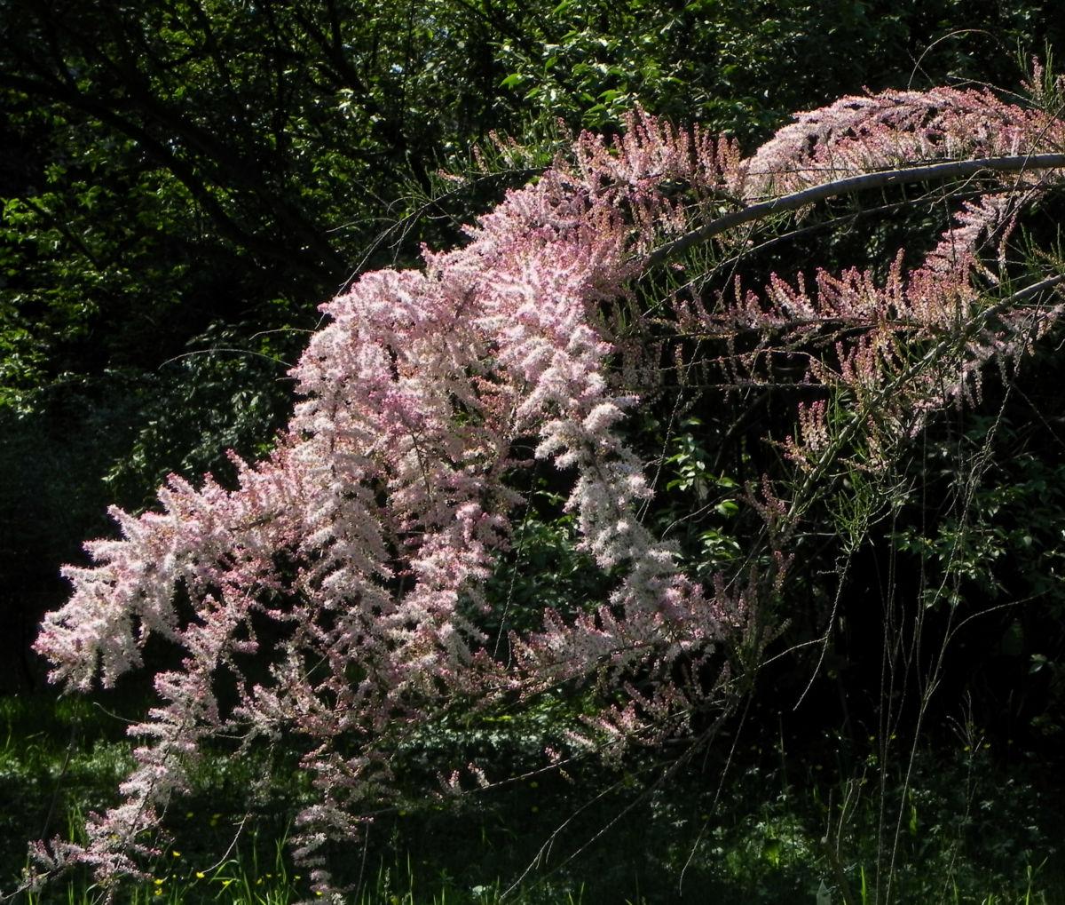 Kleinbluetige Tamariske Strauch Bluete pink Tamarix parviflora