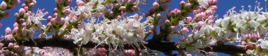 kleinbluetige-tamariske-strauch-bluete-pink-tamarix-parviflora