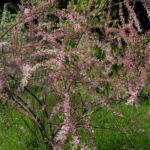 Kleinbluetige Tamariske Strauch Bluete pink Tamarix parviflora 09