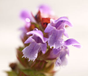 Kleine Brunelle Kraut Bluete lila Prunella vulgaris 02