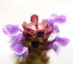 Kleine Brunelle Kraut Bluete lila Prunella vulgaris 04