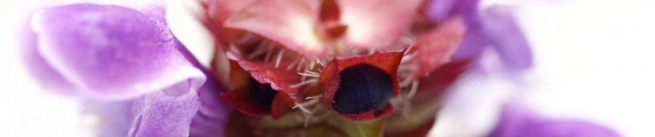 kleine-brunelle-bluete-lila-prunella-vulgaris