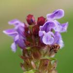 Kleine Brunelle Kraut Bluete lila Prunella vulgaris 05