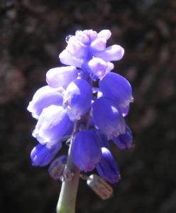 Kleine Traubenhyazinthe Bluete blau Muscari botryoides 04