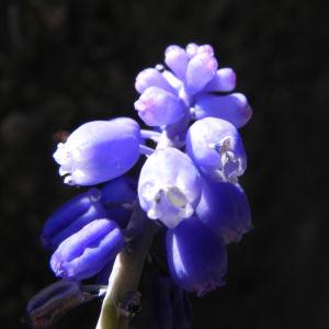 Kleine Traubenhyazinthe Bluete blau Muscari botryoides 11