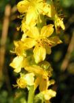 Kleiner Odermennig Bluete gelb Agrimonia eupatoria 05