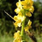 Kleiner Odermennig Bluete gelb Agrimonia eupatoria 07